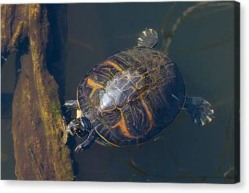 Pond Slider Turtle Canvas Print by Rudy Umans