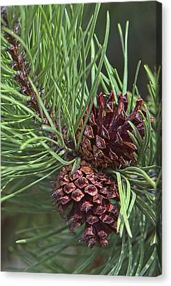 Ponderosa Pine Cones Canvas Print by Sharon Talson