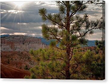 Canvas Print - Ponderosa Pine Tree - Bryce Canyon by R J Ruppenthal