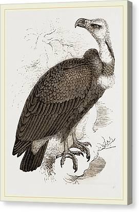 Pondicherry Vulture Canvas Print