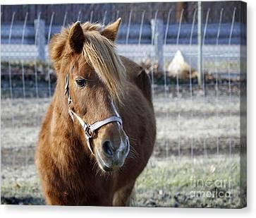 Pony Canvas Print by Denise Pohl