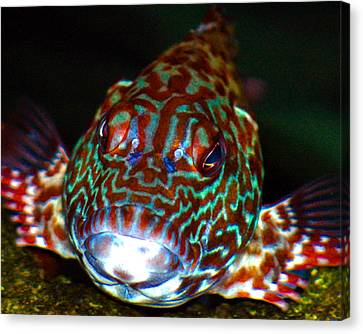 Poopaa Hawaiian Hawk Fish Canvas Print