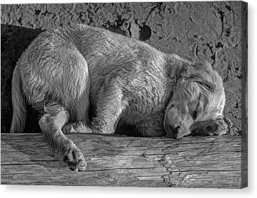 Pooped Puppy Bw Canvas Print by Steve Harrington