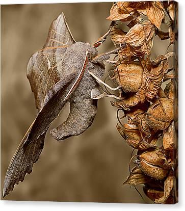 Poplar Hawk Moth Canvas Print by Mr Bennett Kent