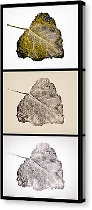 Fallen Leaf On Water Canvas Print - Poplar Leaf 3xt Vertical-blkborder by Greg Jackson