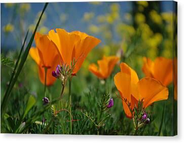 Poppies 2 Canvas Print by Ken Dietz