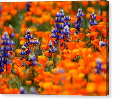 Poppies And Lupine Canvas Print by Bill Keiran