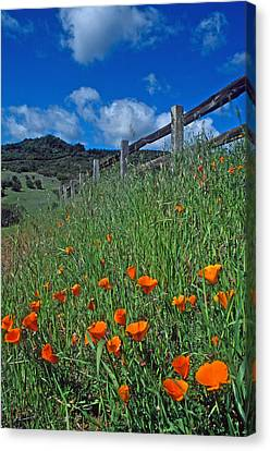 Poppies And The Fence Canvas Print by Kathy Yates