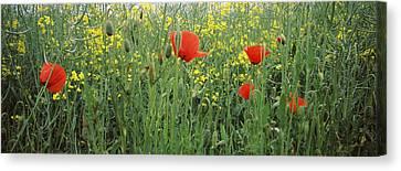 Poppies Blooming In Oilseed Rape Canvas Print
