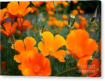 Canvas Print featuring the photograph Poppies by Edward R Wisell