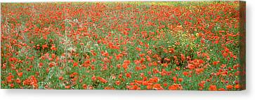 Poppies Growing In A Field, Sicily Canvas Print