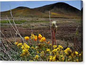 Poppies In The Field Chiracahua Mountains Canvas Print by Diane Lent