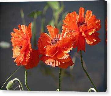 Canvas Print featuring the photograph Poppies by Rebecca Overton