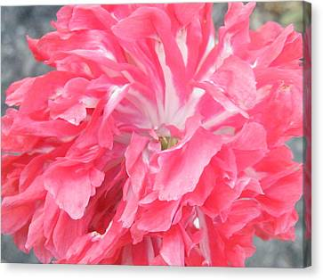 Popping Pink Canvas Print by Brian Boyle