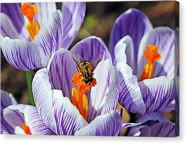 Canvas Print featuring the photograph Popping Spring Crocus by Debbie Oppermann
