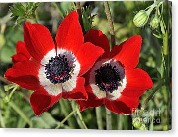 Poppy Anemones Canvas Print by George Atsametakis