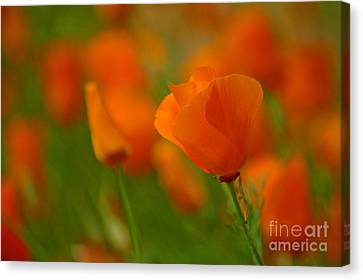 Canvas Print featuring the photograph Poppy Art by Nick  Boren