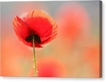 Flower Art Canvas Print - Poppy Dream by Roeselien Raimond