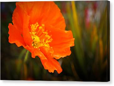 Poppy Emerges Like The Sun Canvas Print by Ronda Broatch