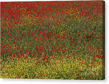 Poppy Field Canvas Print by Bob Phillips