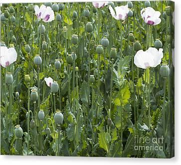 Poppy Field Canvas Print by Michal Boubin