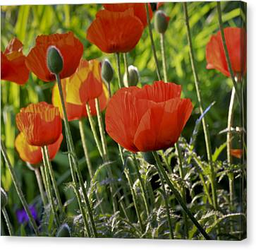 Canvas Print featuring the photograph Poppy Flower by Nick Mares