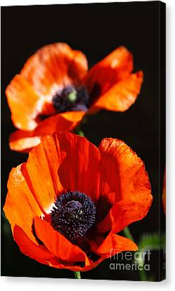 Poppy Flower Pair Canvas Print by Lincoln Rogers