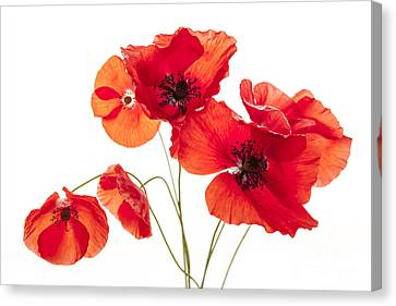 Poppy Flowers  Canvas Print by Elena Elisseeva