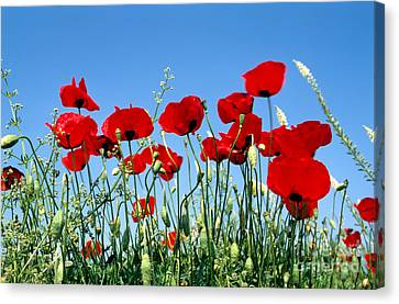 Poppy Flowers Canvas Print by George Atsametakis