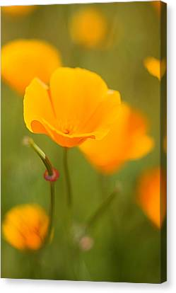 Canvas Print featuring the photograph Poppy II by Ronda Kimbrow