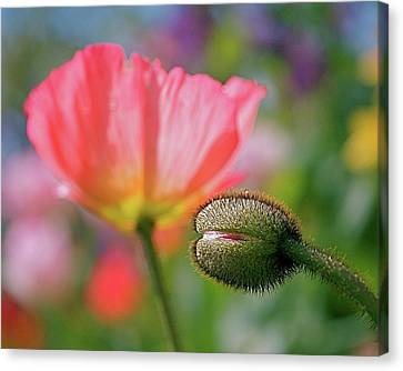 Orange Poppies Canvas Print - Poppy In Waiting by Rona Black