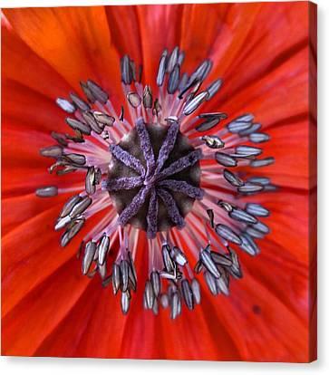 Poppy - Macro Canvas Print by Marianna Mills