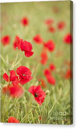 Poppy Red Canvas Print by Anne Gilbert