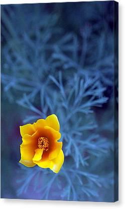 Poppy Canvas Print by Sarah Bergan