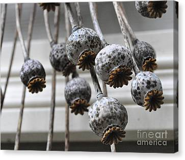 Canvas Print featuring the photograph Poppy Seedheads by Tanya  Searcy