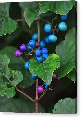 Flowers Names Canvas Print - Porcelain Berries On A Vine by Chris Flees