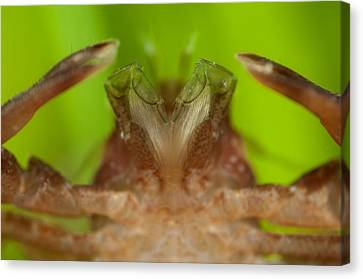 Porcelain Crab Canvas Print by Science Photo Library