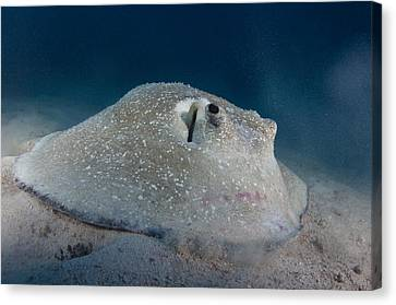 Porcupine Ray Feeding On Seabed Canvas Print by Science Photo Library