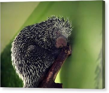 Porcupine Slumber Canvas Print by Melanie Lankford Photography