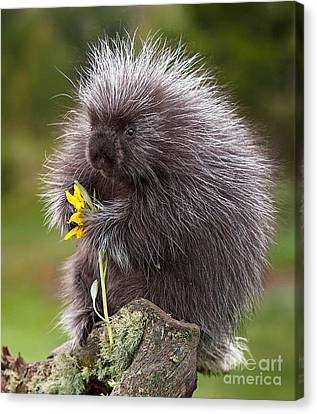 Porcupine With Arrowleaf Balsamroot Canvas Print by Jerry Fornarotto