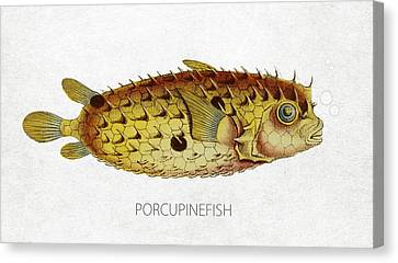 Porcupinefish Canvas Print by Aged Pixel