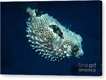 Porcupinefish Deflating Canvas Print by Gregory G. Dimijian, M.D.
