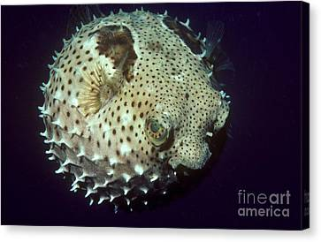 Porcupinefish Canvas Print by Gregory G. Dimijian