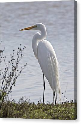 Portrail Of An Egret Canvas Print