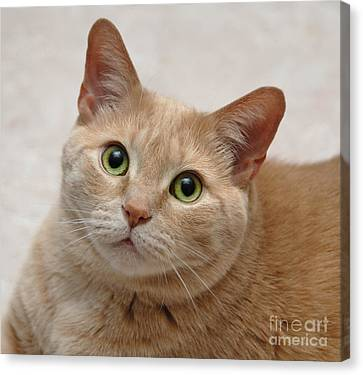 Kitten Canvas Print - Portrait - Orange Tabby Cat by Amy Cicconi