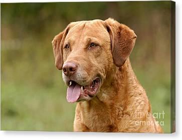 Portrait Chesapeake Bay Retriever Dog Canvas Print by Dog Photos