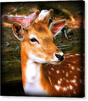 Portrait Male Fallow Deer Canvas Print