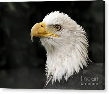 Canvas Print featuring the photograph Portrait Of A Bald Eagle by Inge Riis McDonald