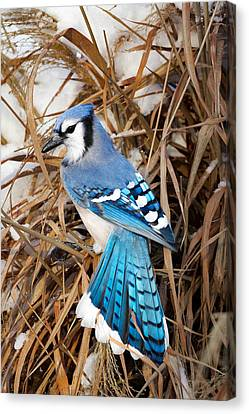 Portrait Of A Blue Jay Canvas Print by Bill Wakeley