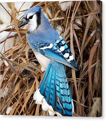 Bluejay Canvas Print - Portrait Of A Blue Jay Square by Bill Wakeley